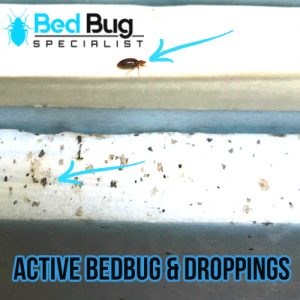 What is bedbugs